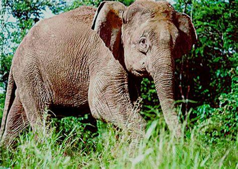 Borneo Pygmy Elephant - Redorbit