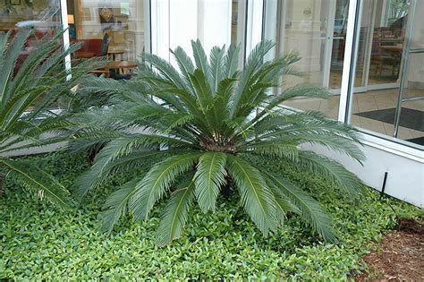 japanese sago palm cycas revoluta  boston hopkinton