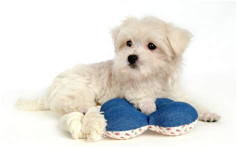 cute pictures of puppies 1 maltese cute puppy cute puppy pictures cute dogs