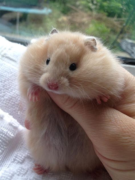 The 25  best Long haired hamster ideas on Pinterest   Bad
