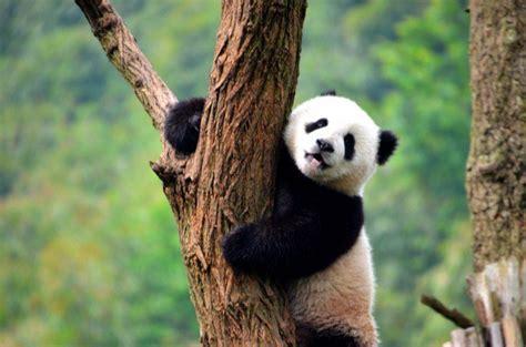 panda china how to get a panda hug in china