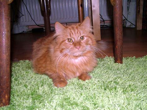 cat majiroge by samson cosmetik cat samson free stock photo domain pictures