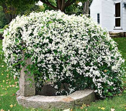 Tanaman Gantung Green Happy sweet autumn clematis perfumes the early fall garden