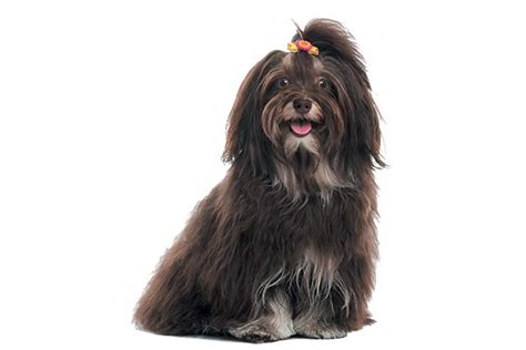 havanese dogs 101 9 reasons to meet the happy go lucky havanese