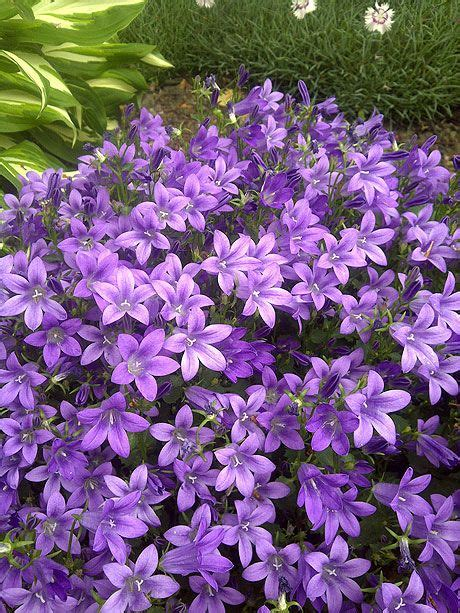 purple perennials that bloom all summer pc canula purple get mee the purple blooms on this