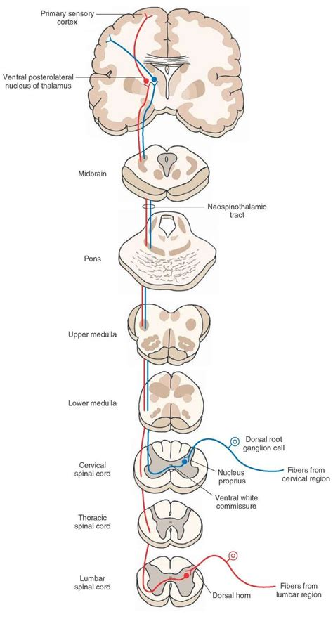 cross section of spinal cord tracts 25 best ideas about dorsal root ganglion on pinterest