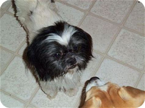 houston shih tzu louie adopted louie houston tx shih tzu