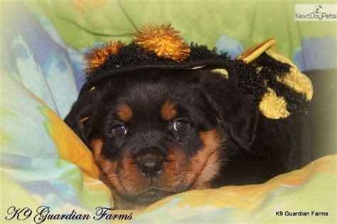 puppies for sale richmond va akc rottweiler puppies rottweiler puppy for sale in richmond va 4048556217