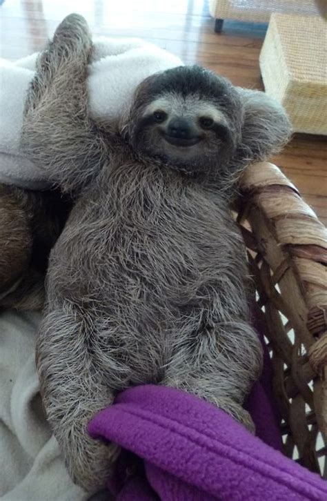 sloth on a couch best 25 sloths ideas on pinterest baby sloth cute baby