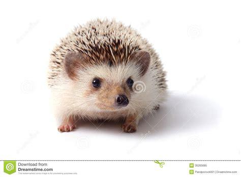 small tiny little hedgehog stock image image of mammal hedgehog 35265685