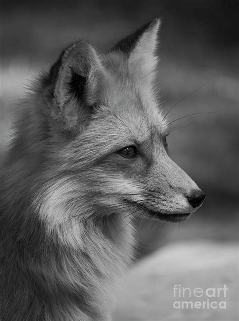 Red Fox Portrait In Black And White Photograph by Teresa