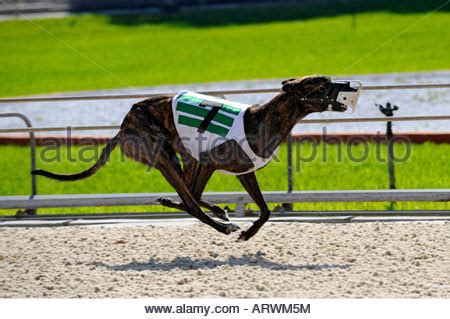 naples track greyhound racing at fort myers naples track florida stock photo royalty free
