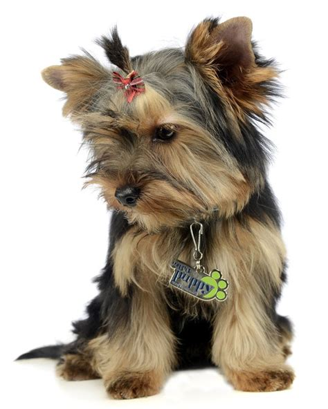 yorkie litter size terrier puppies breed information puppies for sale
