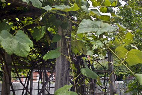 growing grapes on trellis leaves stems and woody branches of a grape vine growing