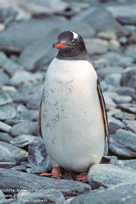 gentoo penguin pictures images photos images