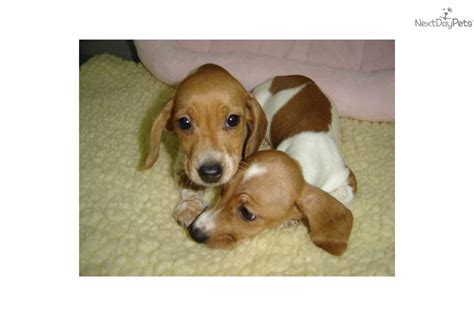 miniature dachshund puppies for sale in california miniature dachshund puppies for sale indiana breeds picture