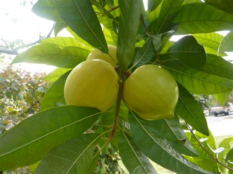 fruit tree identifier forum fruit identification
