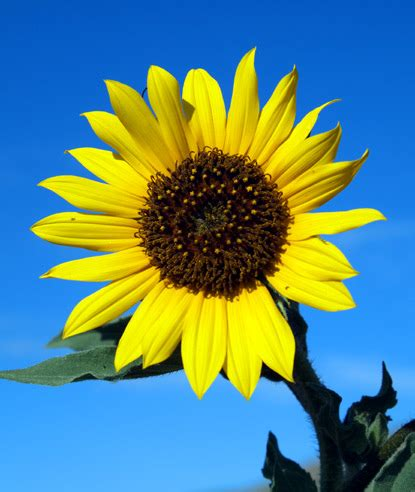 Benih Bunga Matahari Sunflower 4 eat well eat cheap an inexpensive substitute for pine nuts