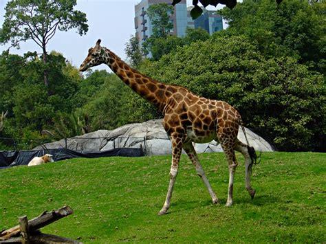 imagenes jirafas jirafa
