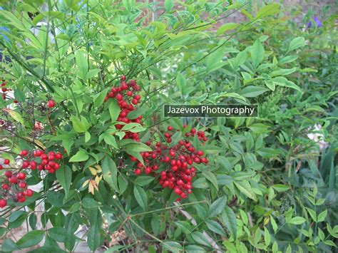 gardeners land heavenly bamboo nandina