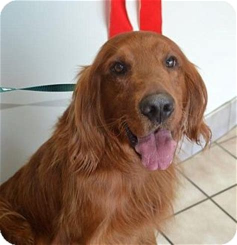 golden retriever rescue nj kipper adopted bedminster nj golden retriever setter mix
