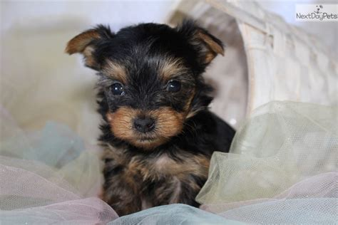 yorkie poo puppies for sale in cleveland ohio princess yorkiepoo yorkie poo puppy for sale near cleveland ohio a5dd6a39 5f51