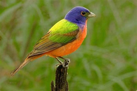 painted bunting google search beautiful birds pinterest