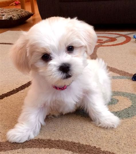 shih tzu information malshi puppy maltese shih tzu mix 7 weeks puppy info