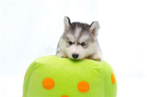 foto sul cuscino husky siberiano sul cuscino dei dadi fotografia stock