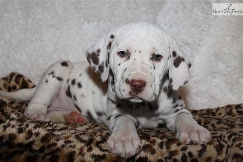 dalmatian puppies for sale michigan dalmatian puppy for sale near grand rapids michigan 16426e84 bcd1
