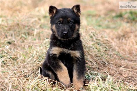 german pinscher puppies for sale german pinscher puppy for sale near lancaster pennsylvania 33e0e280 56f1