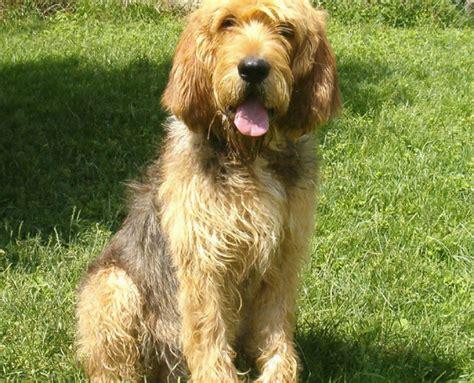 otterhound puppies for sale otterhound news