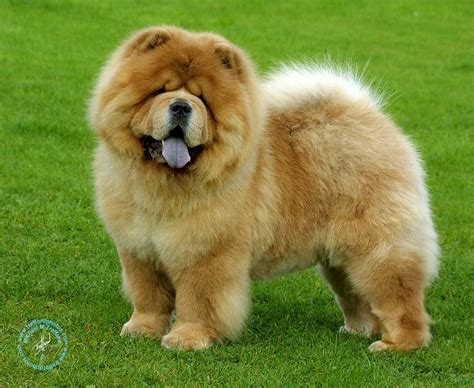 how much are chow chow puppies chusky chow chow husky mix fuzzy today