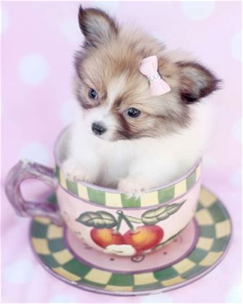 papillon puppies for sale in florida 17 best images about papillon puppies for sale on my ebay babies and houston