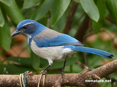 backyard birds nwnature net