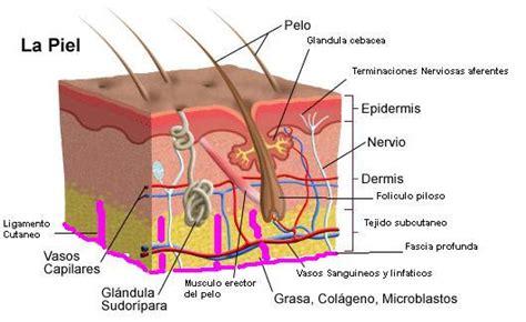libro la piel de la 191 qu 233 es la piel y c 243 mo funciona salud a tiempo