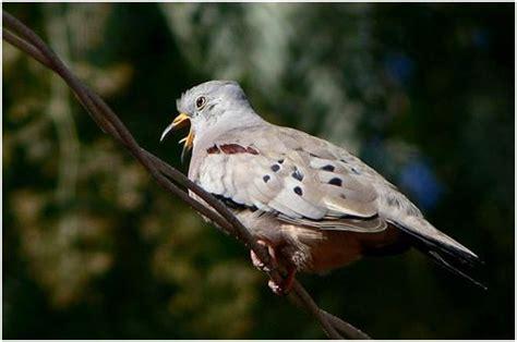 Teko Fancy Kuning 12 Cm croaking ground dove merpati hias fancy pigeon