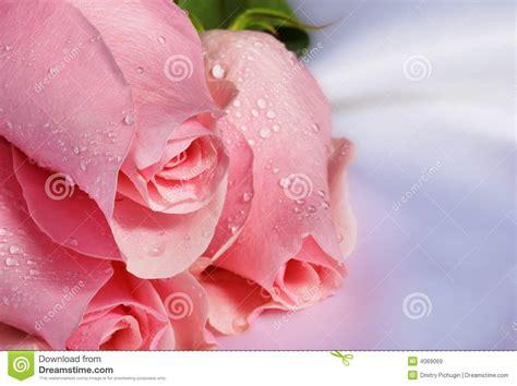 imagenes de flores libres rosas rosadas im 225 genes de archivo libres de regal 237 as