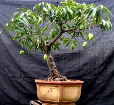 1 Biji Benih Bonsai Buah Plum jual biji benih bonsai buah mangga gardening