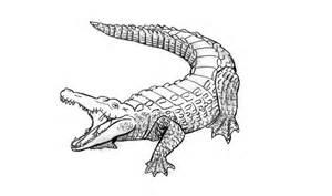 como desenhar um jacar 233 crocodilo animais how to draw