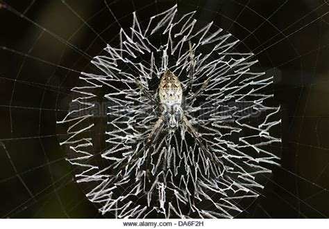 spiders with zig zag pattern on back stabilimentum stock photos stabilimentum stock images