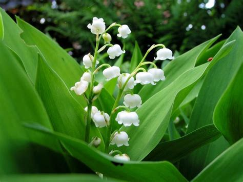 may birth flower the farmer s almanac
