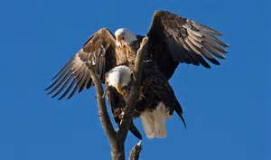 bald eagles mating eagle mating
