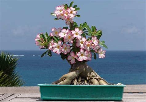 merawat bunga adenium  rumah tanaman hias