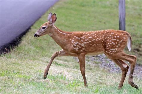 staten island leaders blame city for dangerous deer surge