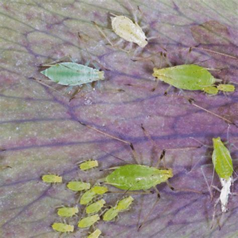 how to get rid of gnats in backyard how to get rid of aphids how to get rid of stuff
