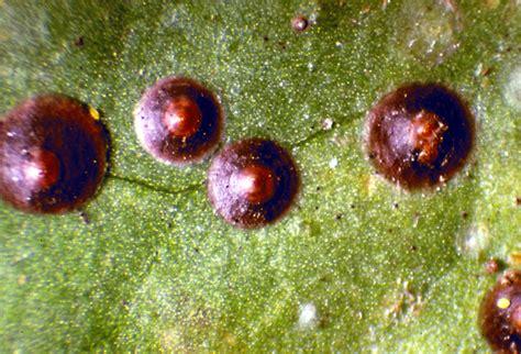 Areca Palm scales