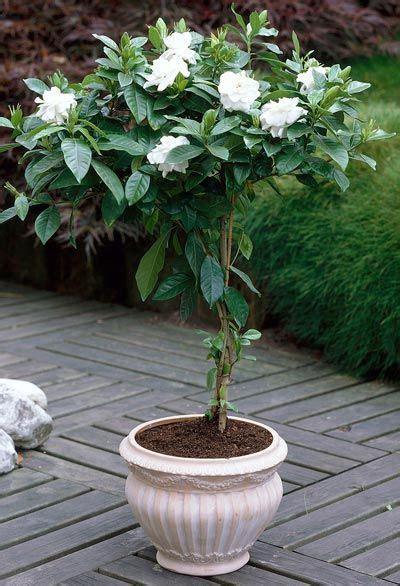 double blooming gardenia tree patio trees plants
