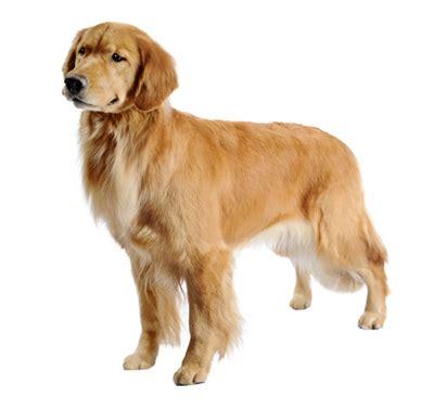 purina golden retriever golden retriever chien de race purina