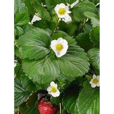 pianta di fragole in vaso pianta fragola piante fiorite piante da orto